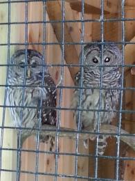 Owls at Denison Pequotsepos Nature Center