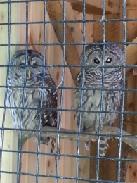 Owls at Denison Pequotsepos Nature Center