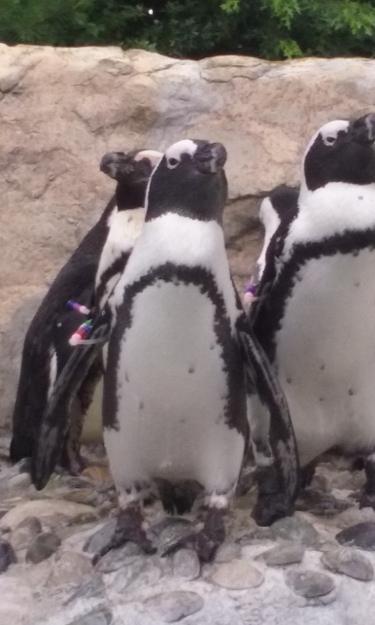 There are very few creatures more engaging than penguins to me