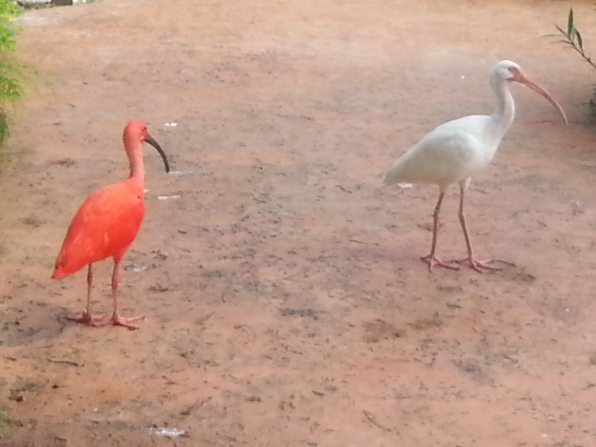 Ibis in the Cayman Turtle Farm's aviary