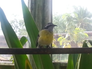 A little yellow cutie (not its official Latin name) in the Cayman Turtle Farm's aviary